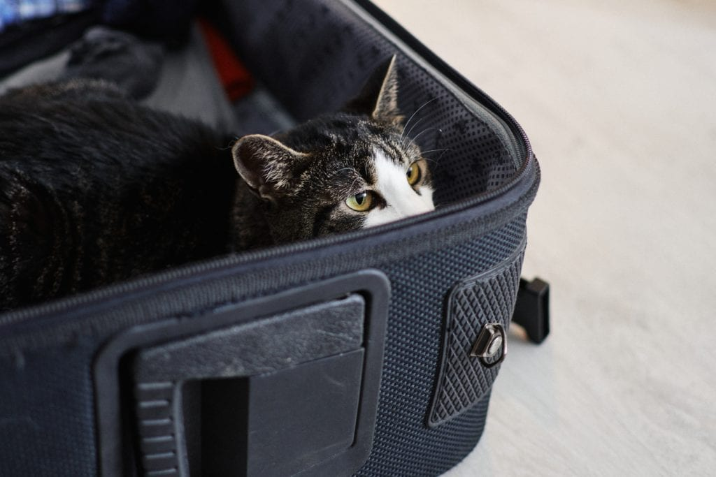 cat hiding in suitcase