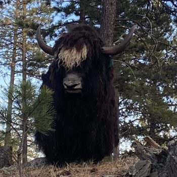 Hugh our Yak Bull